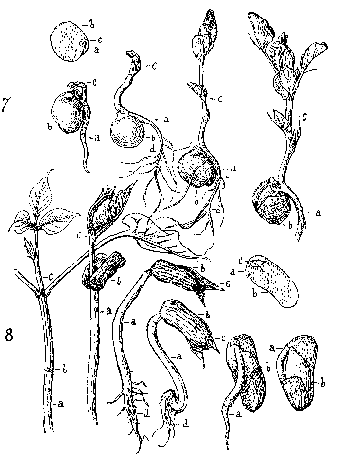 The Project Gutenberg Ebook Of Outlines Of Lessons In Botany Part I