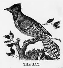 THE JAY