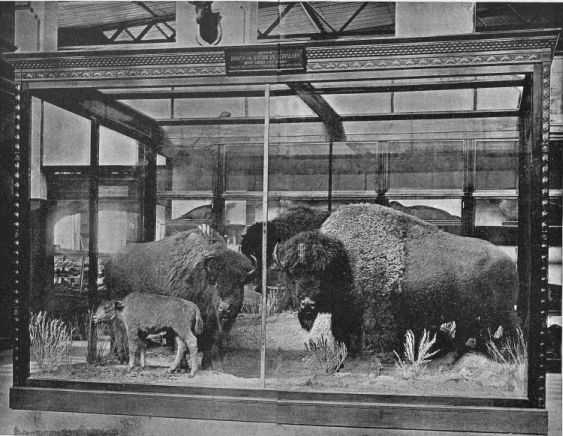 group of american bisons collected and mounted in the national museum