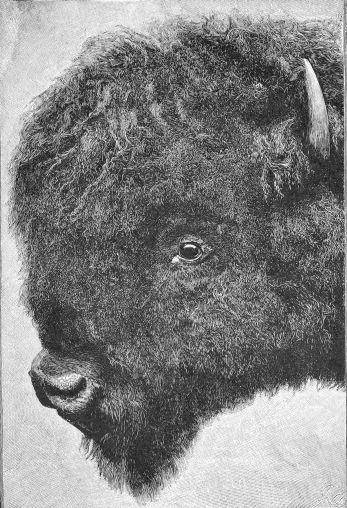 Head of bull buffalo