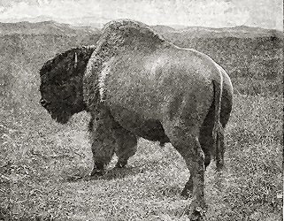 BULL BUFFALO. (REAR VIEW.)