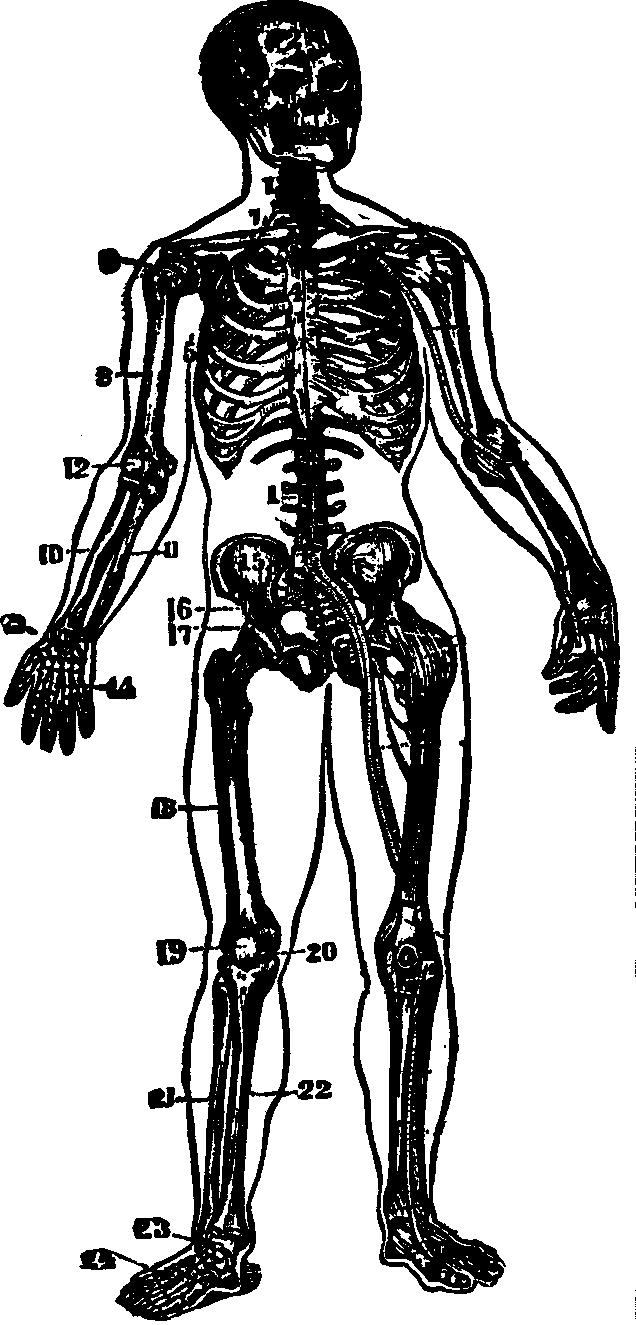 The Peoples Common Sense Medical Adviser By Rv Pierce Md Snake Skeleton Diagram Images Pictures Becuo Illustration Fig 16