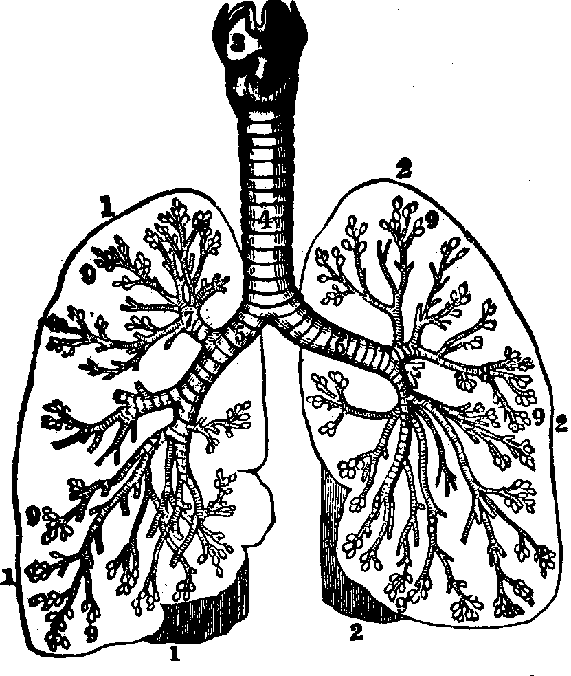 The Peoples Common Sense Medical Adviser By Rv Pierce Md Plant Cell Diagram 7th Grade Images Pictures Becuo Illustration Fig 43 An Ideal Representation Of Respiratory Organs