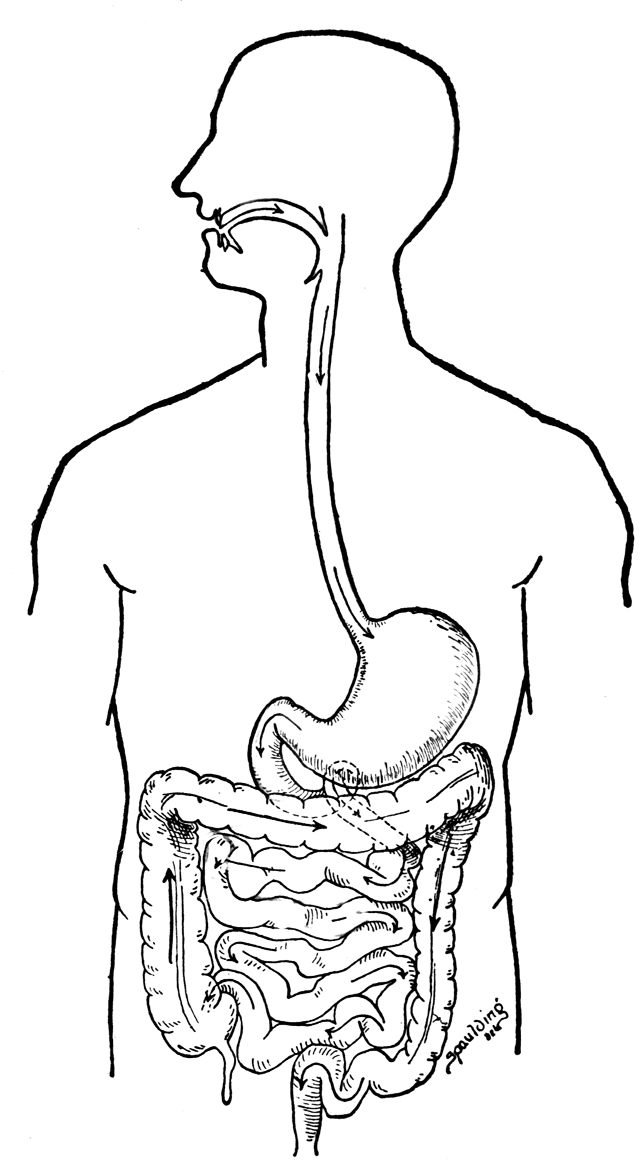 Digestive+system+label