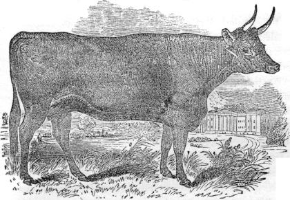 Devon cow