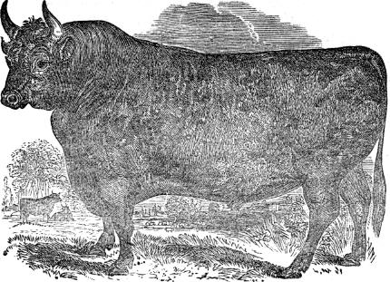 Devon bull