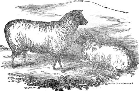 Southdown ewe