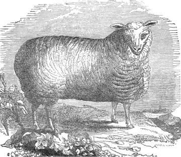 long-wooled ewe