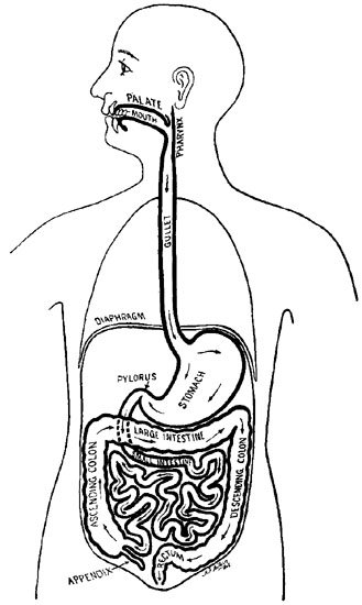 digestive system coloring page - alimentary canal free colouring pages