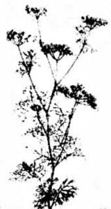Coriander plant image
