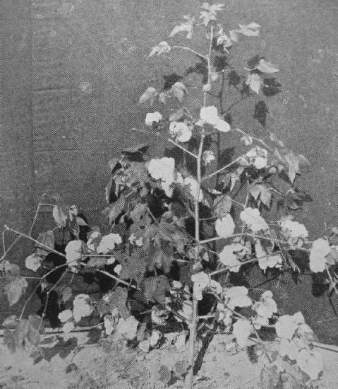 UPLAND COTTON PLANT WITH FULLY DEVELOPED BOLES