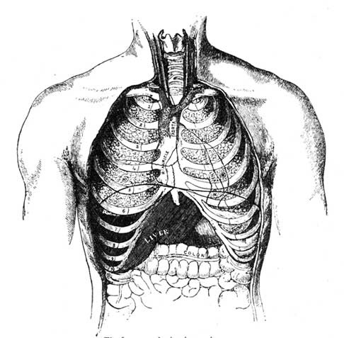 The Lungs and other internal organs.