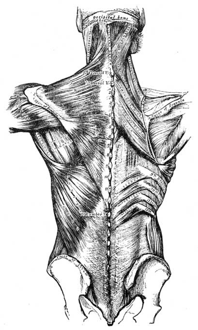 Muscles of Back