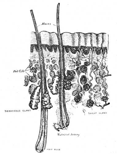 Sections of the skin,