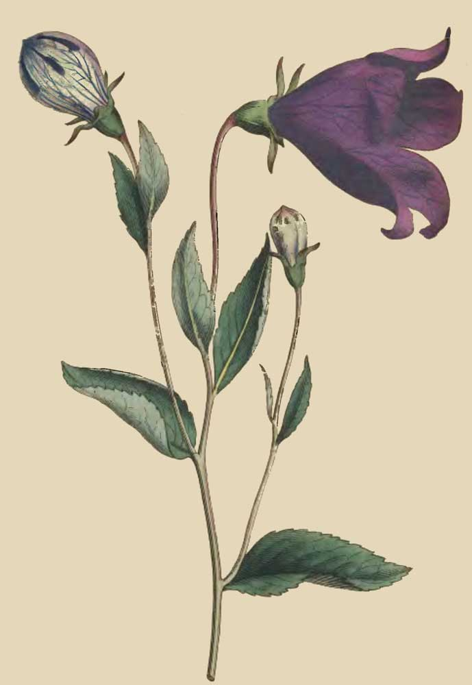 Bell Flowers Drawing The Project Gutenberg Ebook of