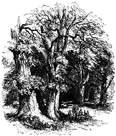 Several thickly-trunked trees