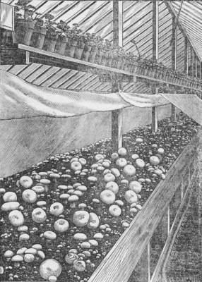 Mushrooms Grown On Greenhouse Benches At Mr. J. E. Kingsleyu0027s Model Farm.