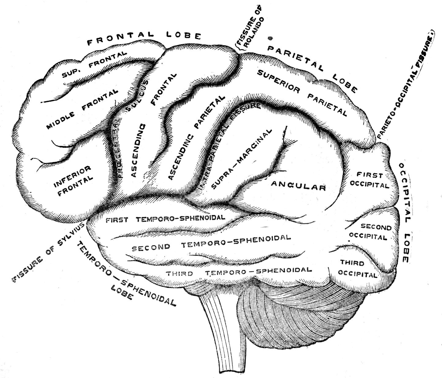 100 Labelled Diagram Of The Brain Heart Parts Thebridgesummit