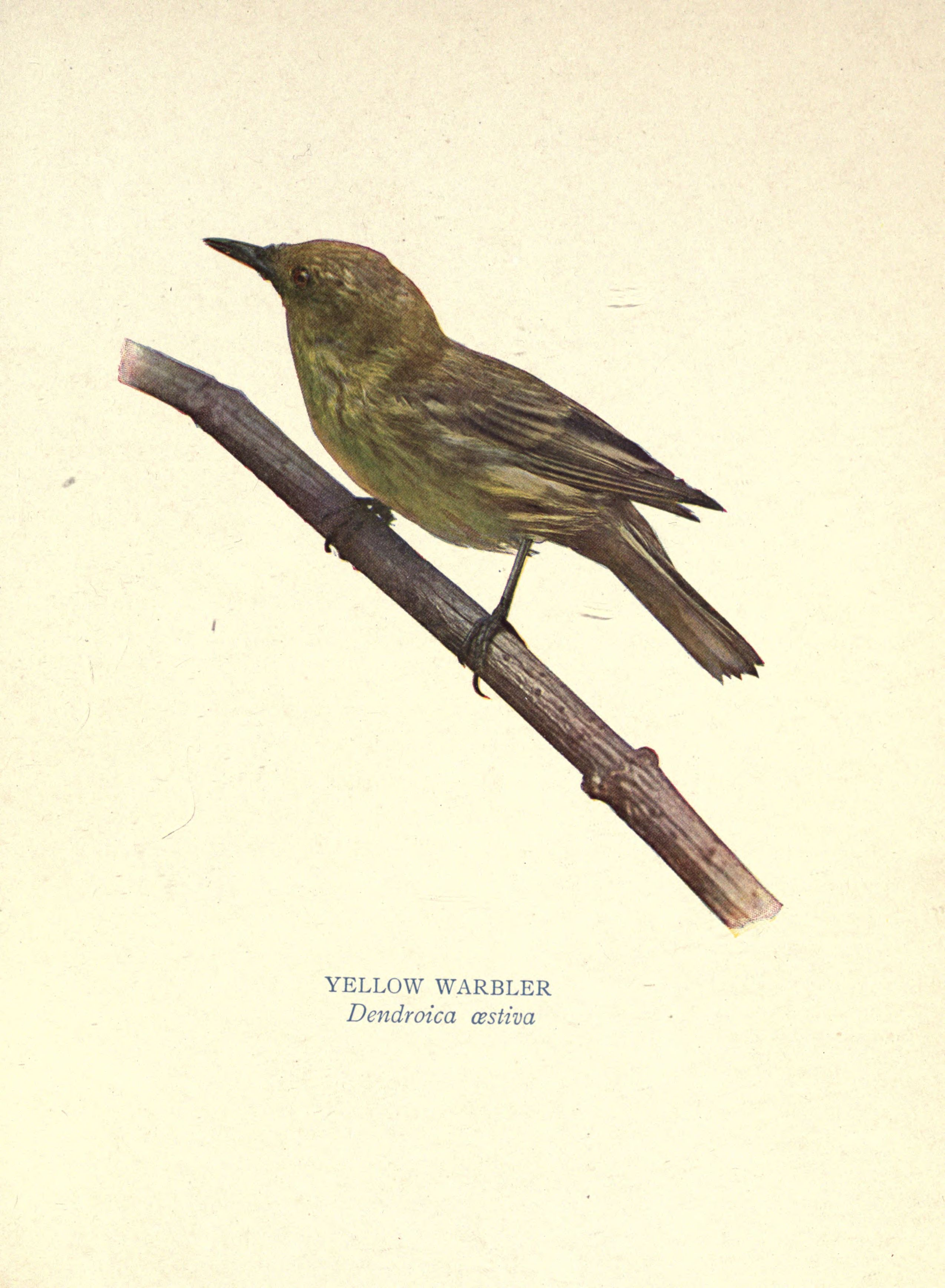 Another Feathered Conundrum Was The Nashville Warbler Whose Back And Head Are Colored Like Those Of Tennessee But Under Parts Bright Yellow