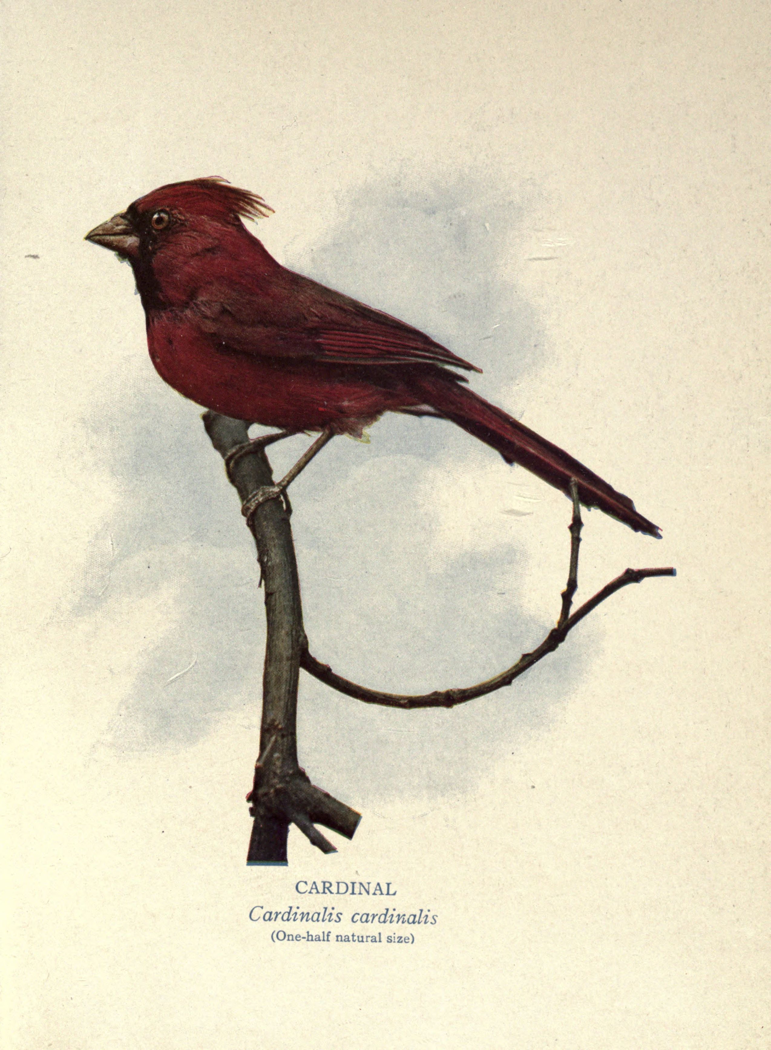 the project gutenberg ebook of our bird comrades by leander s