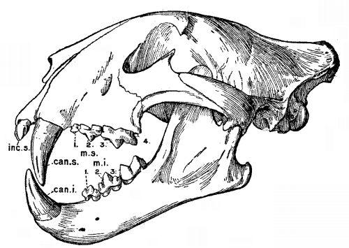 Tigers Skull Diagram Residential Electrical Symbols