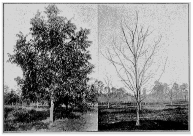 Pecan Tree Outline