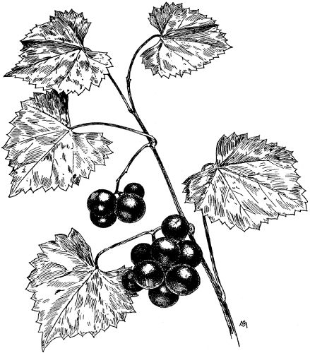 The Project Gutenberg Ebook Of Manual Of American Grape Growing By