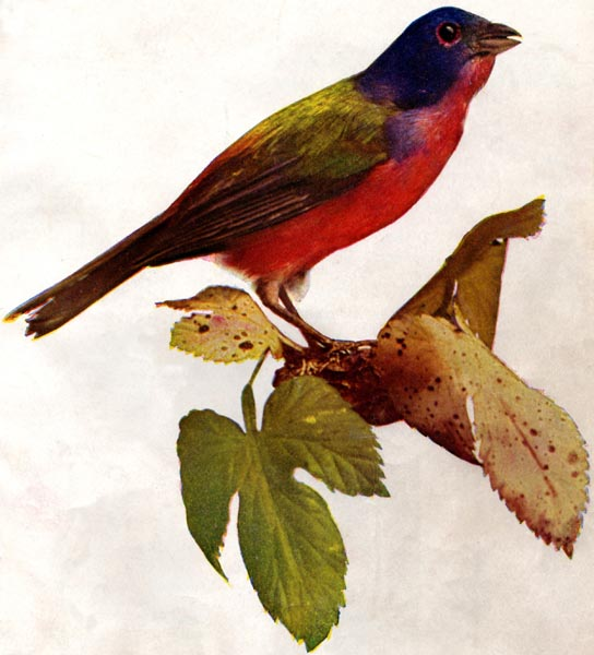 The Project Gutenberg Ebook Of Birds Illustrated By Color