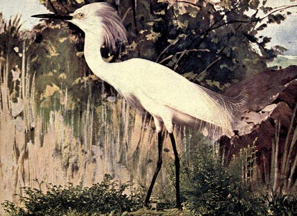 Song birds illustrated bird