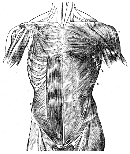 A Front View Of The Muscles Trunk On Left Side Superficial Layer Is Seen Right Deep 1 Pectoralis Major Muscle