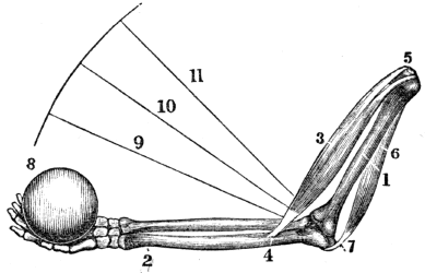 The project gutenberg ebook of a treatise on anatomy physiology fig 45 a representation of the manner in which all of the joints of the body are moved 1 the bone of the arm above the elbow fandeluxe Choice Image