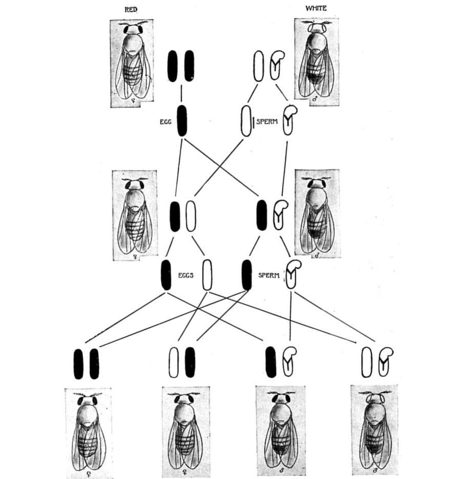 Rat Skeleton Diagram Http Wwwgutenbergorg Files 30701 30701h ... on