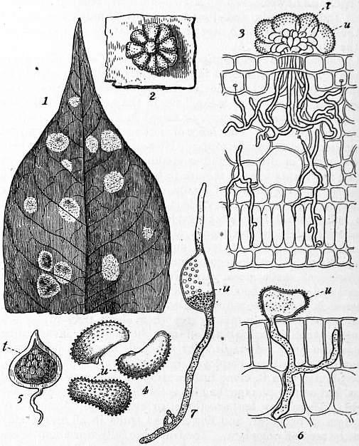 The project gutenberg ebook of encyclopdia britannica volume vi fig 2coffee leaf disease hemileia vastatrix fandeluxe Image collections