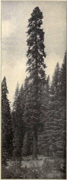 A Silver Fir, or Red Fir (Abies magnifica)