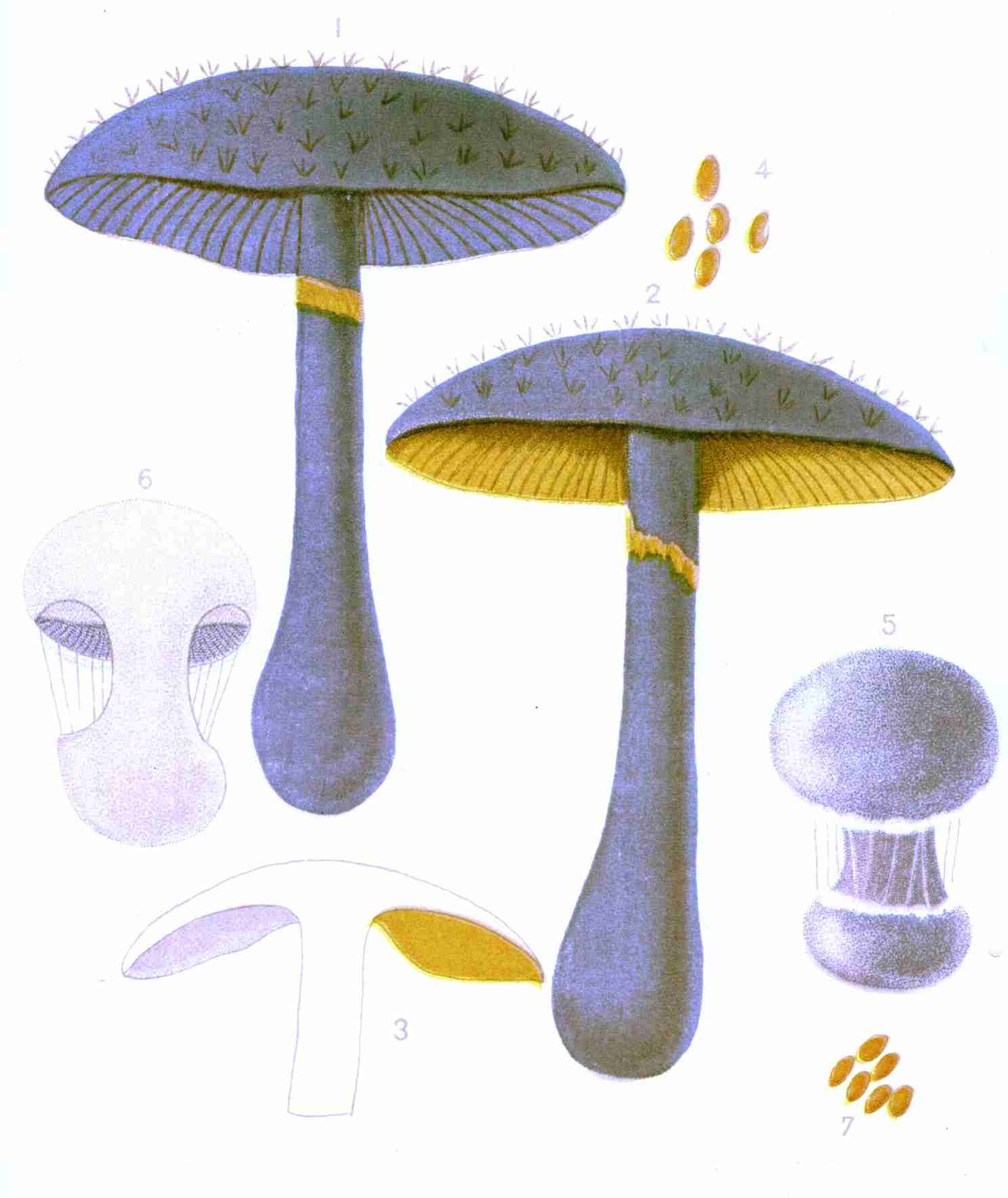 The project gutenberg ebook of students hand book of mushrooms of the project gutenberg ebook of students hand book of mushrooms of america edible and poisonous by thomas taylor m d fandeluxe Choice Image