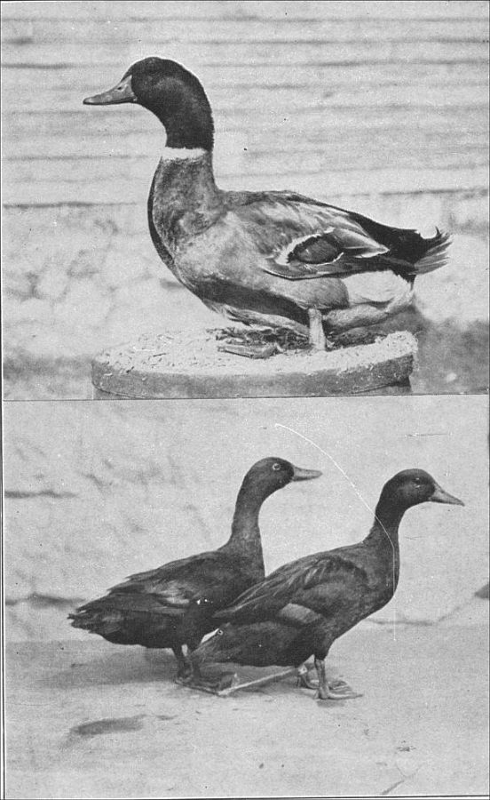 The Project Gutenberg eBook of Ducks and Geese, by Harry M. Lamon ...