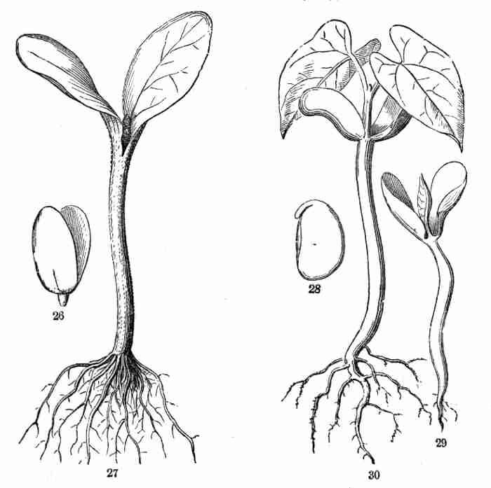Pumpkin Seed Drawing Embryo of Pumpkin-seed