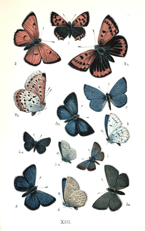 colemans british butterflies