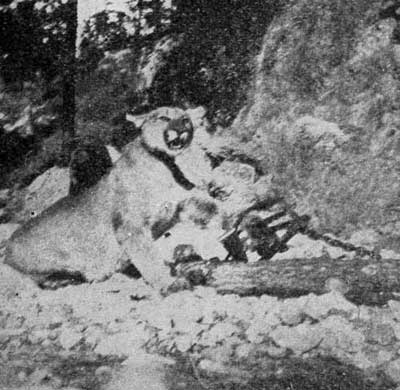 MOUNTAIN LION SECURELY CAUGHT.