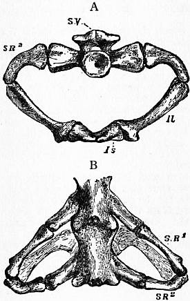 vertebral centrum