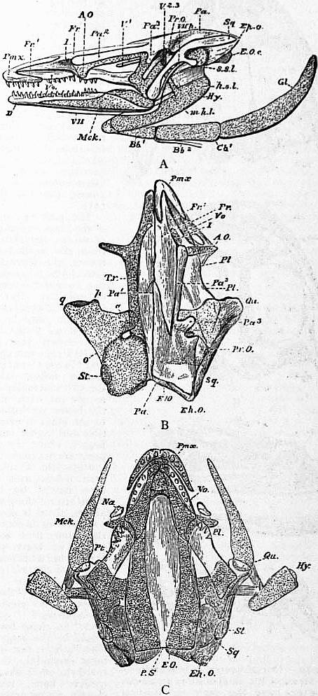 The project gutenberg ebook of encyclopdia britannica volume iii lateral dorsal and ventral views of the cranium of necturus maculosus in the dorsal view the bones are removed from the left half of the skull fandeluxe Choice Image