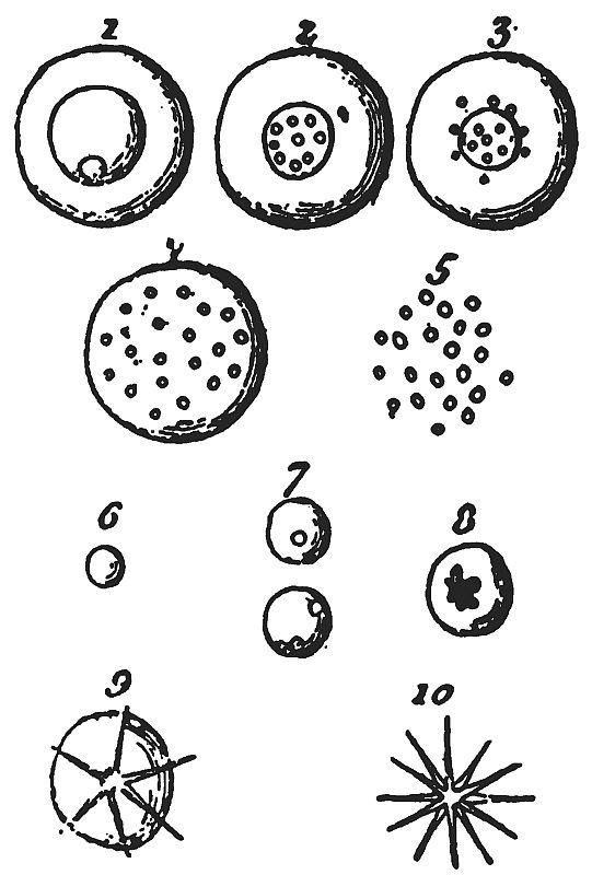 phylum rhizopoda defination