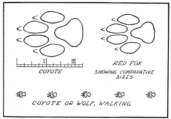 Fox Tracks Vs Coyote Tracks