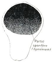 spores de truffes noires