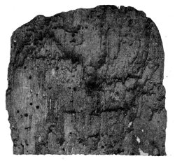 PIECE OF SPANISH CHESTNUT SHOWING<br /> RAVAGES OF WORMS.