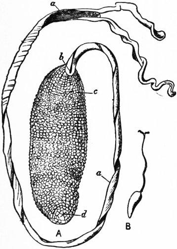 In brief, describe the salient features of Bonellia