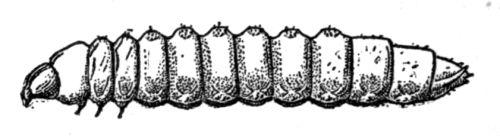Boring larva.