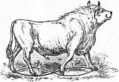 Chillingham Bull (Bos Scoticus). Small travelling extremities adapted for  land. r, s, t, u, figure-of-8 described by the feet in walking.