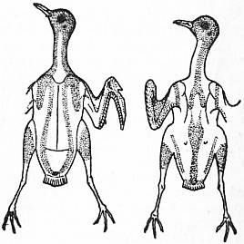 fig  2  pterylosis of the plover