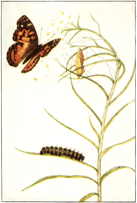 2266dab94ca The Project Gutenberg eBook of Butterflies Worth Knowing